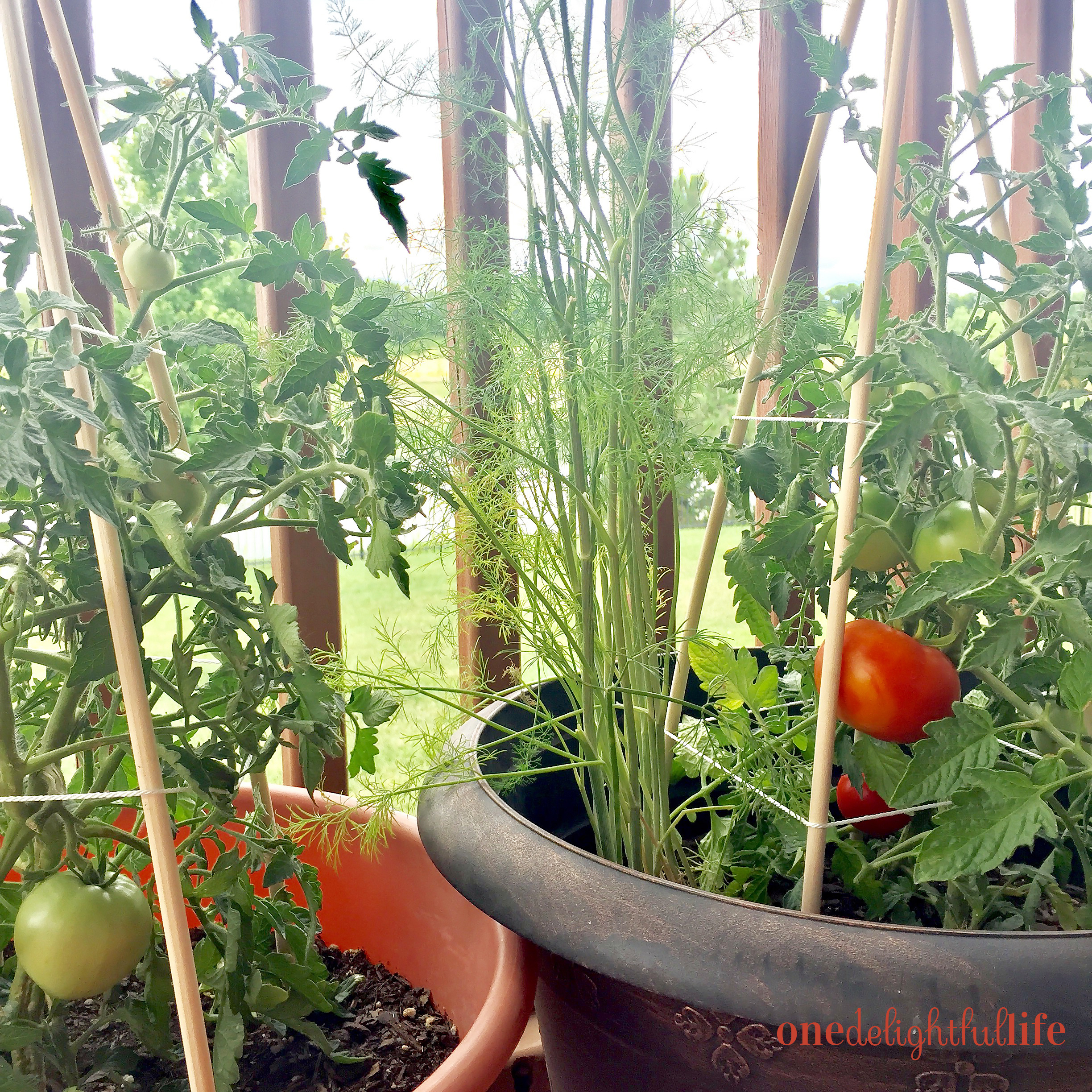 dowel-rod-tomato-cages