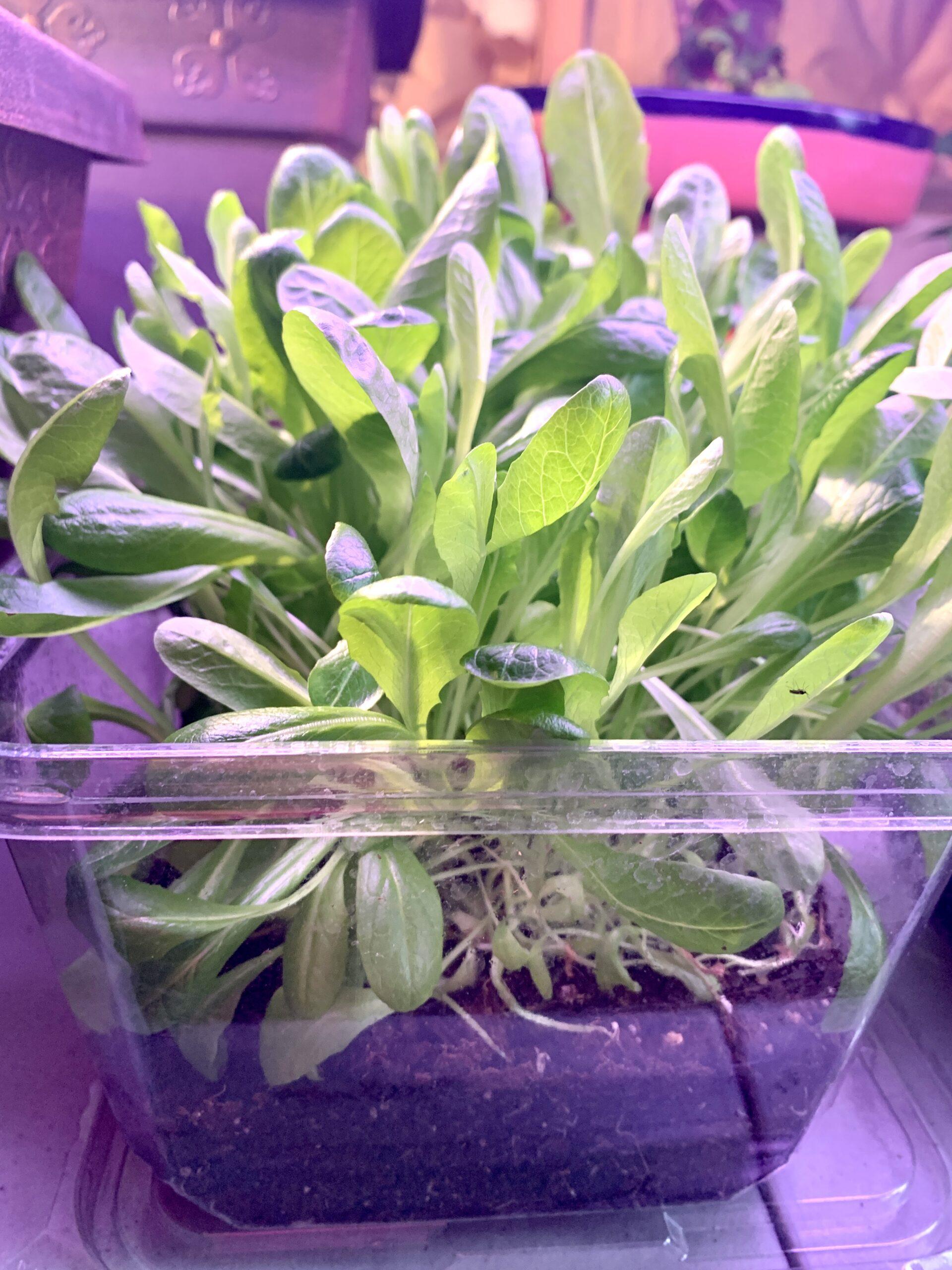 lettuce indoor garden