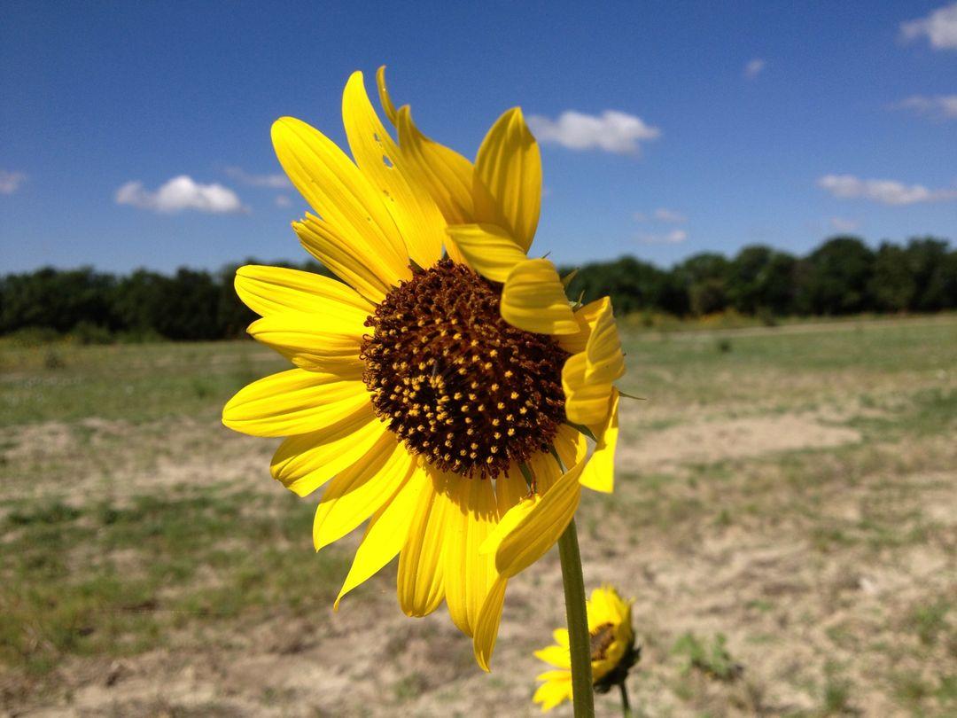 Kansas Sunflower